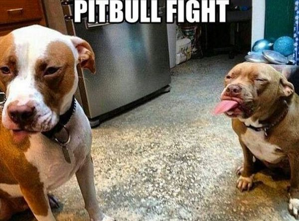 Pit Bull Fight - Dog humor