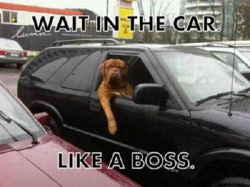 Waiting I The Car Like A Boss - Dog humor