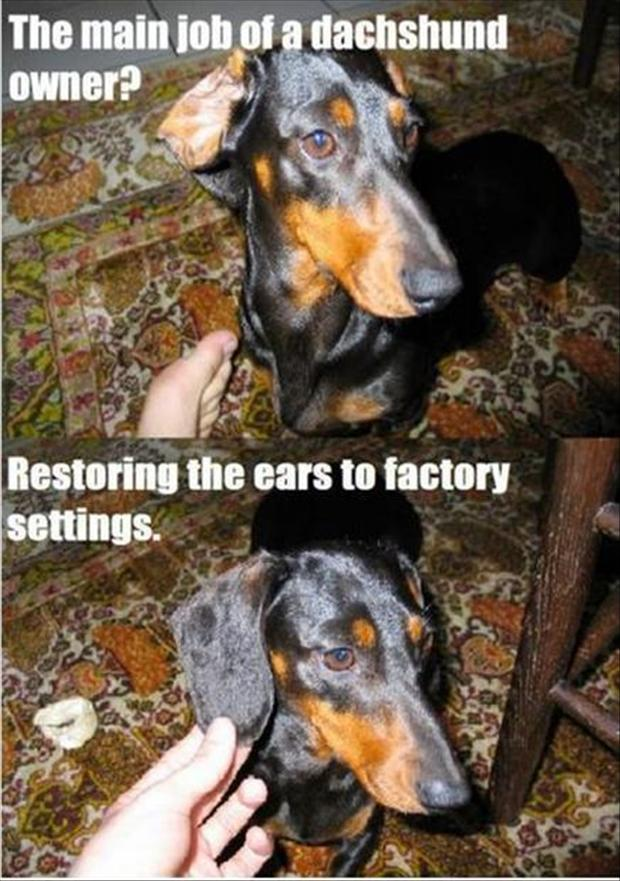 The Main Job Of Dachshund Owner - Dog humor