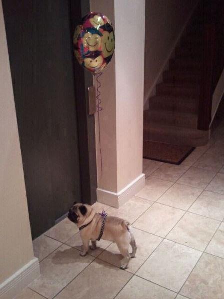Party Pug - Dog humor
