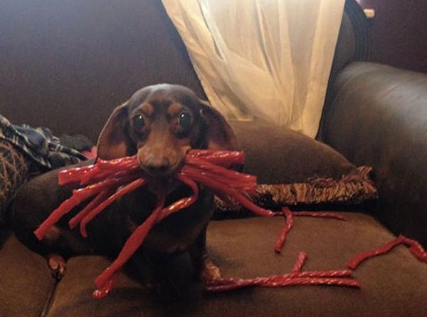 Weiner Found The Twizzlers - Dog humor