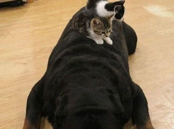 Vicious Rottweiler - Dog humor