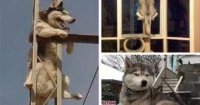 Huskies, Doing What Ever They Want… - Dog humor