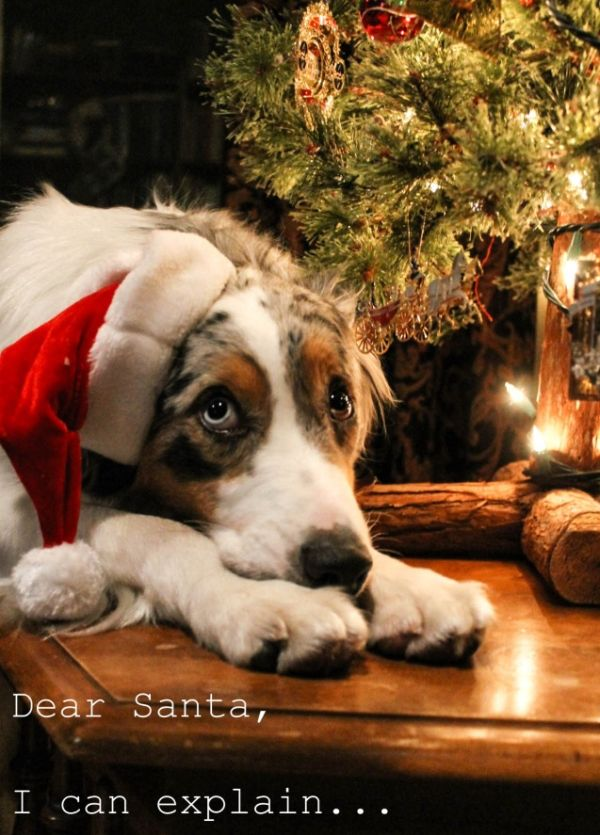 Dear Santa I Can Explain... - Dog humor