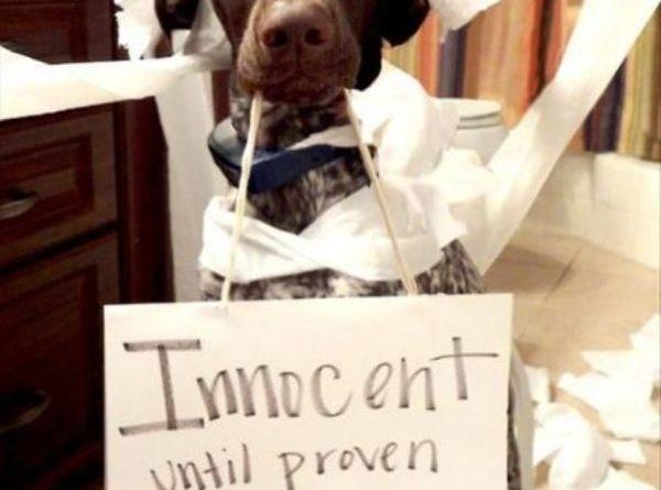 Innocent Until Proven Guilty Dog Humor